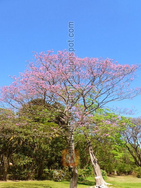 árbol Lapacho de flores rosadas