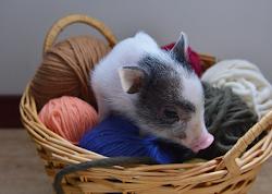 Le Tricot, c'est cochon !