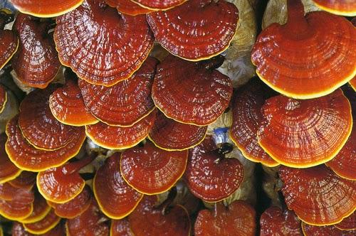 Ganoderma lucidum oneriyoruz.biz