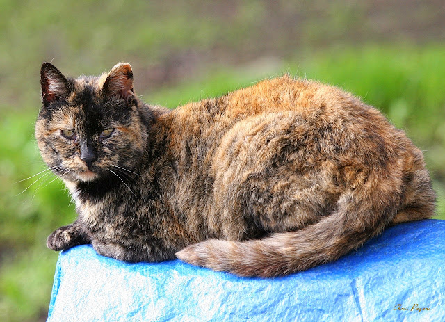 Old tortie feral cat relaxing