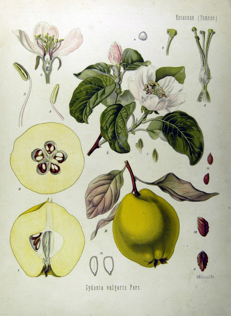 Quince, membrillo