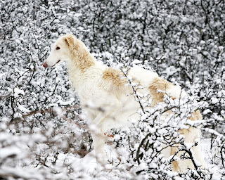 Borzoi Dog Wallpaper
