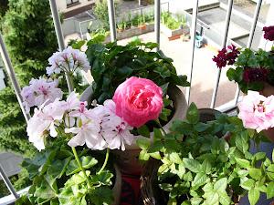 Blumen auf meinem Balkon