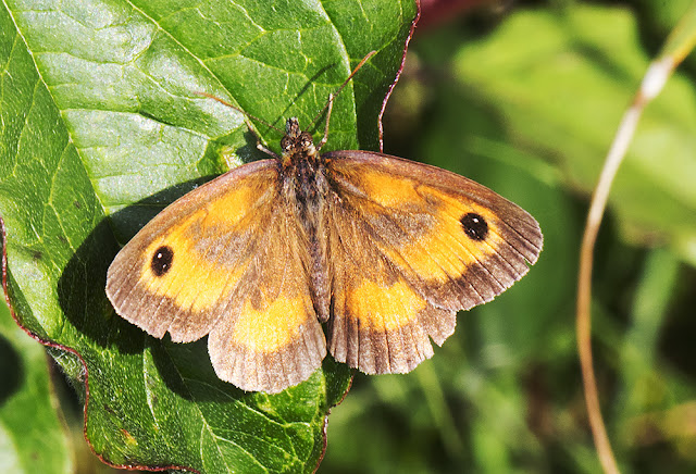 Gatekeeper, Pyronia tithonus.  Hutchinson's Bank, 29 July 2015.