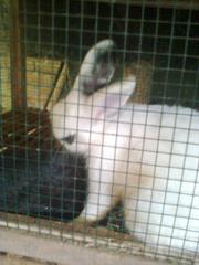 kelinci-11
