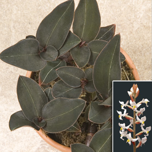 The Fern And Mossery Orchids For Terrariums Black Velvet Jewel Orchid