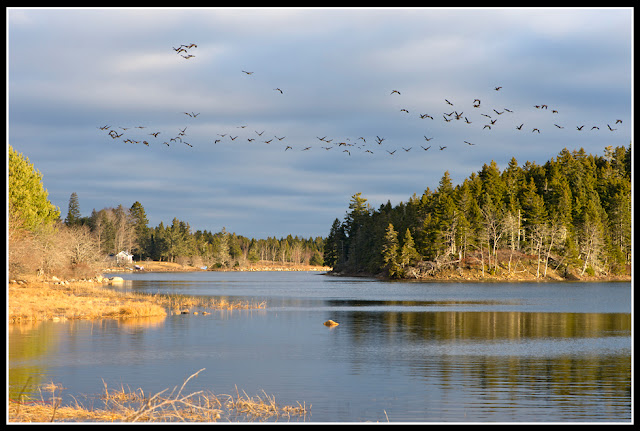 Nova Scotia; Inlet; Birds: Flock