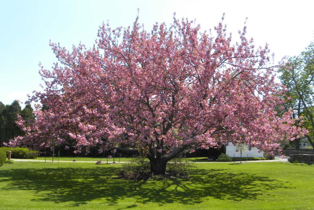 1 cherry tree studio may 2011