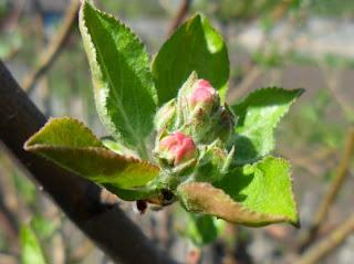 цветочные бутоны яблони