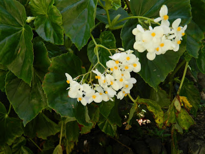 Begonia vincentina at Diamond Botanical Gardens Soufriere St. Lucia by garden muses-not another Toronto gardening blog
