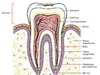 Estructura de un diente