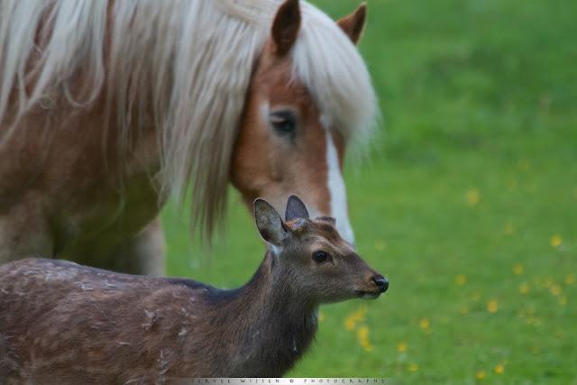 Sikahert - Sika Deer - Cervus nippon