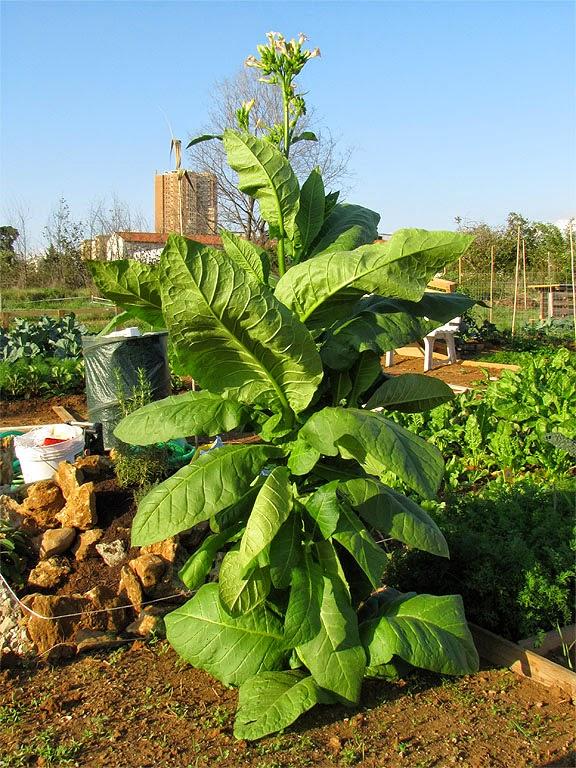 Tobacco plant, Urban vegetable gardens, via Goito, Livorno