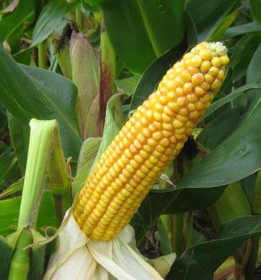 how to make maize germ