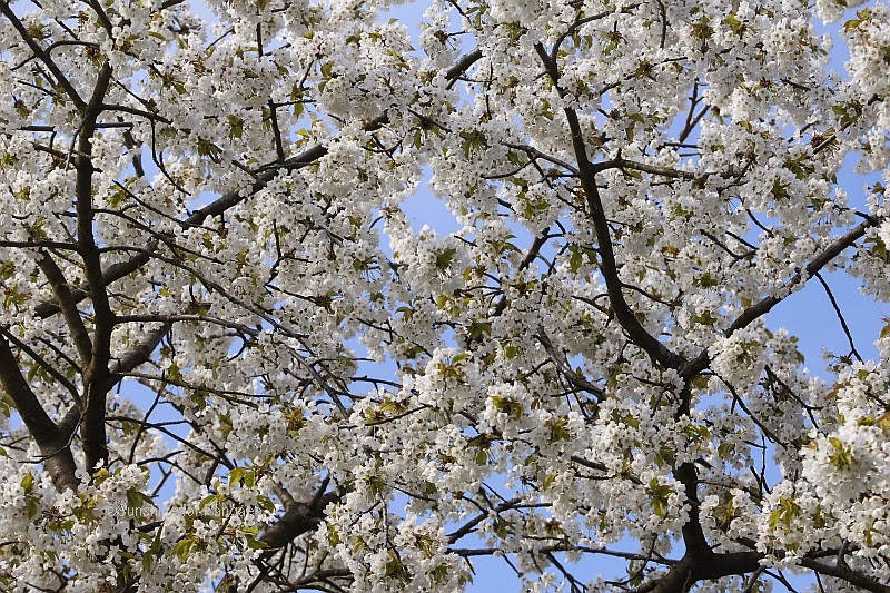 cherry blossoms in southern Germany