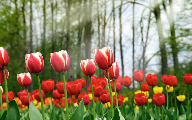 Lentefoto met rode tulpen
