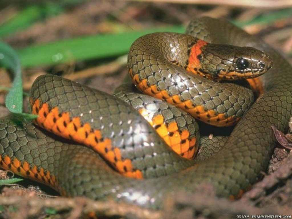 snake wallpaper pack 3 wallpapers pictures lovers