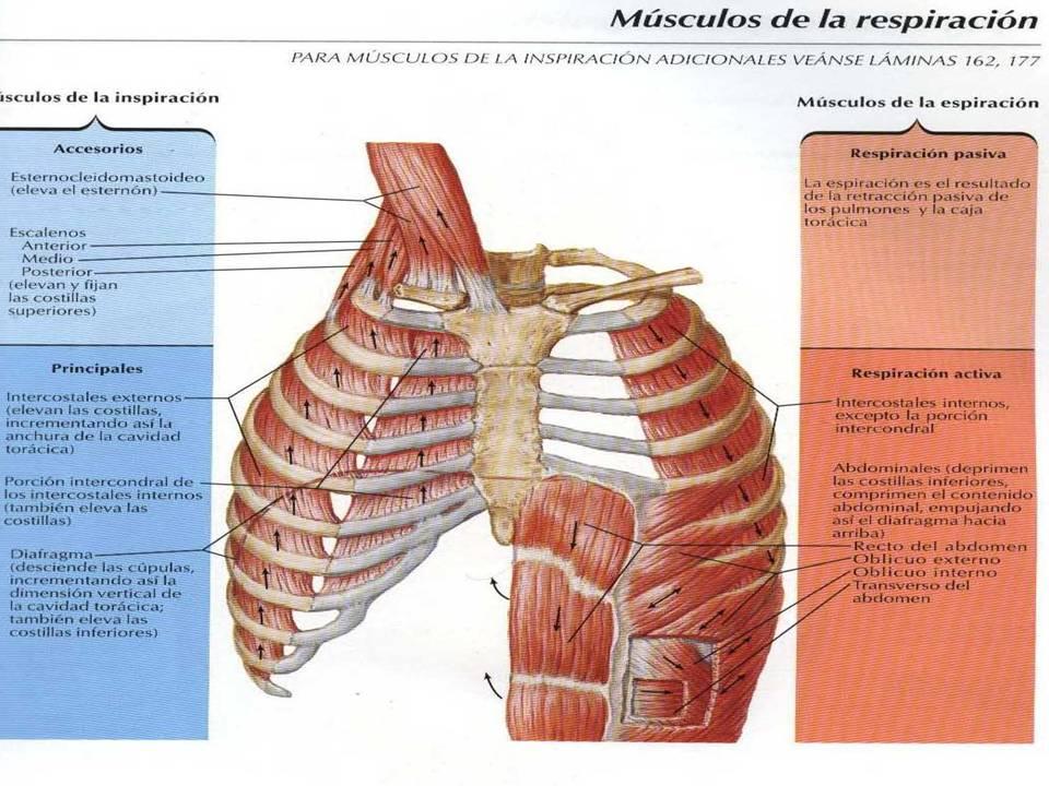 Fisiología Humana *-*: Músculos de la respiración