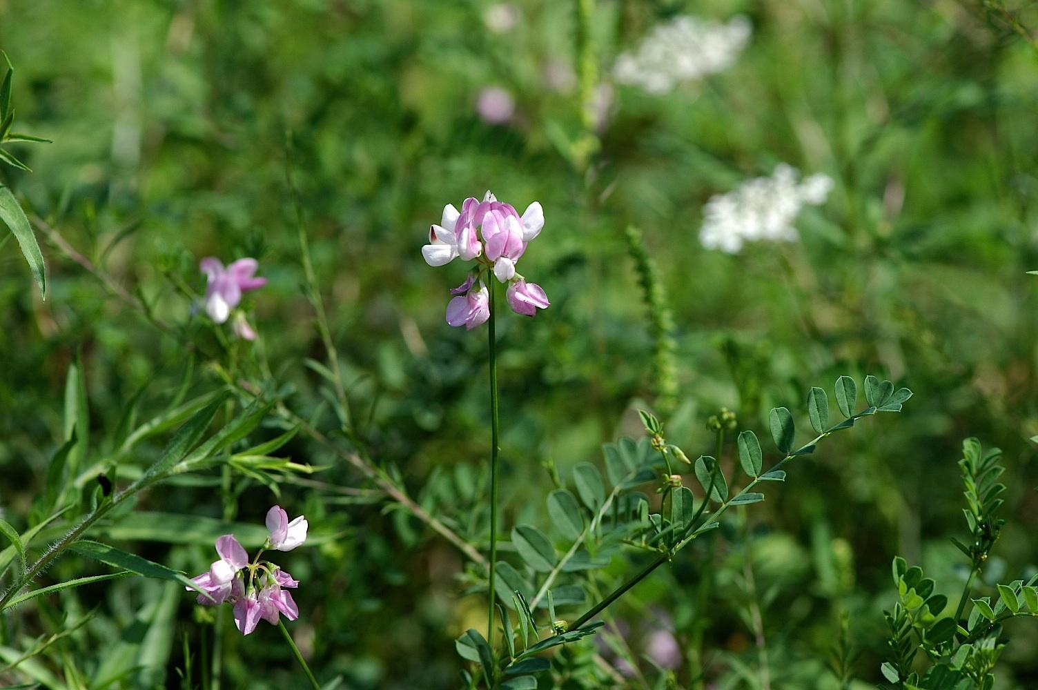 Common Garden Flowers Pink field biology in southeastern ohio: roadside plants, that