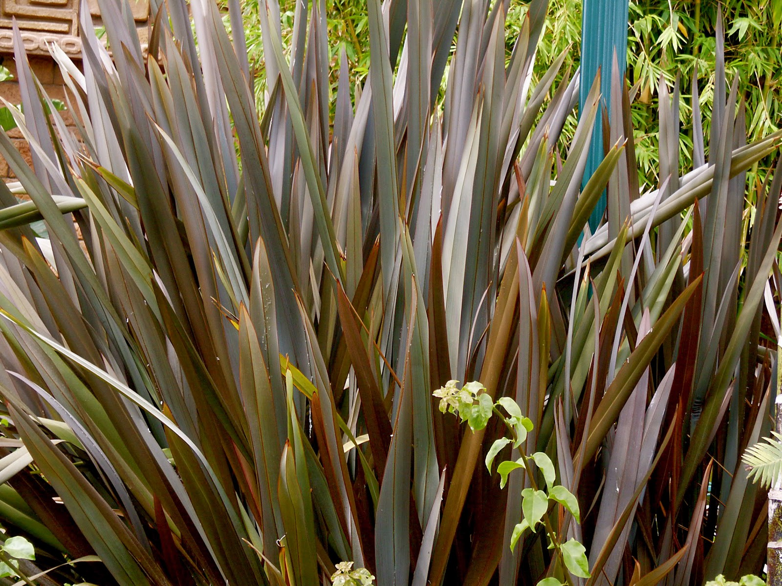 New zealand flax the aspiring gardener for Large ornamental grass plants