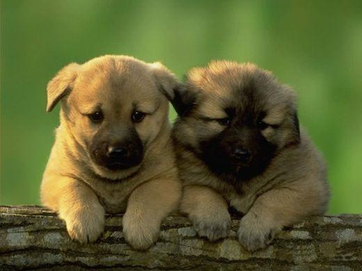 Clasificados de Puerto Rico Animales, Caballos , Perros
