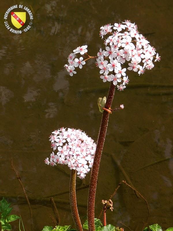VILLERS-LES-NANCY (54) : Le jardin botanique du Montet-Darmera peltata