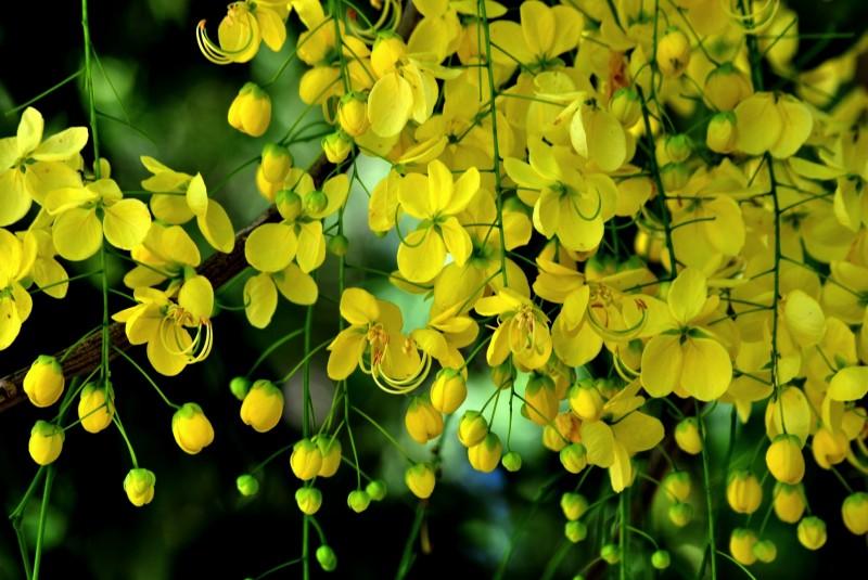 The Happy Homemaker: Kanikonna – The Golden Flower Tree of Vishu