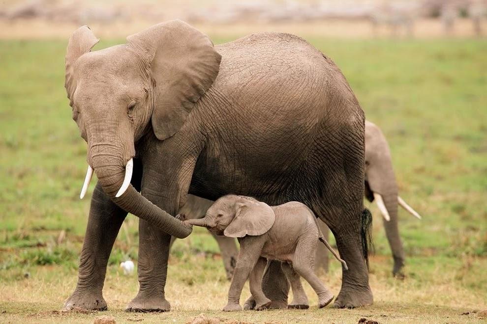 Un mundo lleno de animales: ELEFANTES