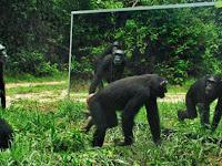 Lucu, Reaksi Binatang Saat Diberi Cermin Ukuran Besar