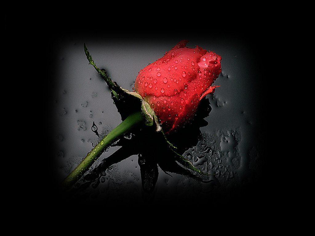http://4.bp.blogspot.com/-perqn_nc77Q/ToFn_-RTUlI/AAAAAAAAAFY/X89BotReLKQ/s1600/red_rose+dew+wallpaper.jpg