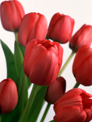 Dian Yulia Puspita Report Text About Tulip Flowers