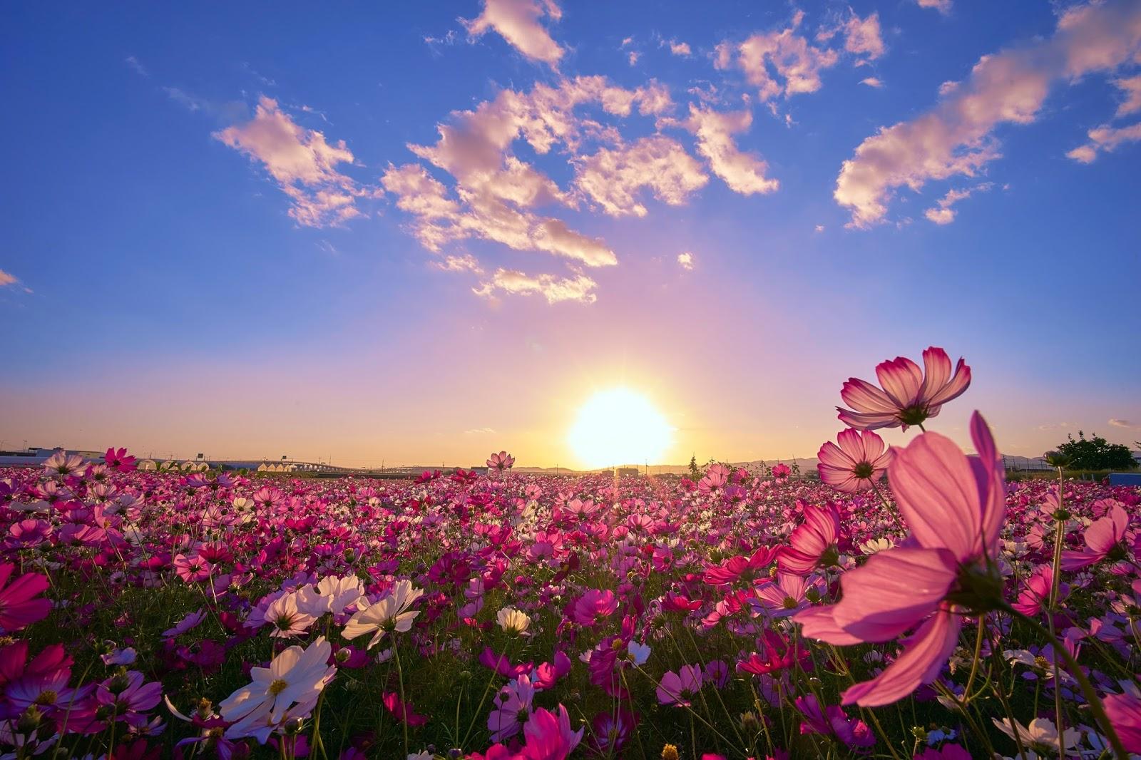 banco de im genes hermoso campo con flores al amanecer. Black Bedroom Furniture Sets. Home Design Ideas