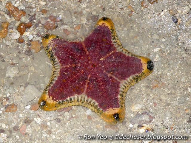 The Tide Chaser Sea Stars Phylum Echinodermata Class Asteroidea
