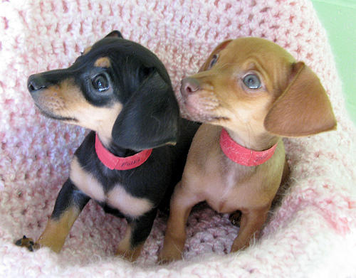 Chihuahua Mix Puppies | New Photos 2012 | Funny And Cute Animals