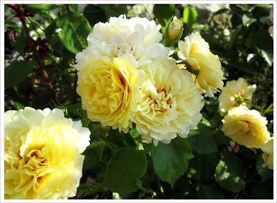 Weiß - Gelbe Rose