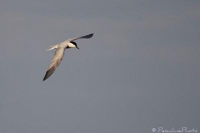 Sterne hansel (Gelochelidon nilotica), Gull-billed Tern