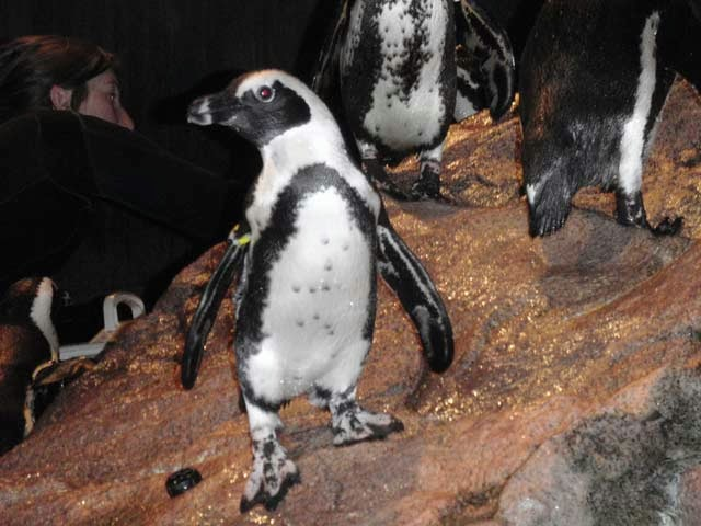 Notice the difference in plumage from this adult african penguin