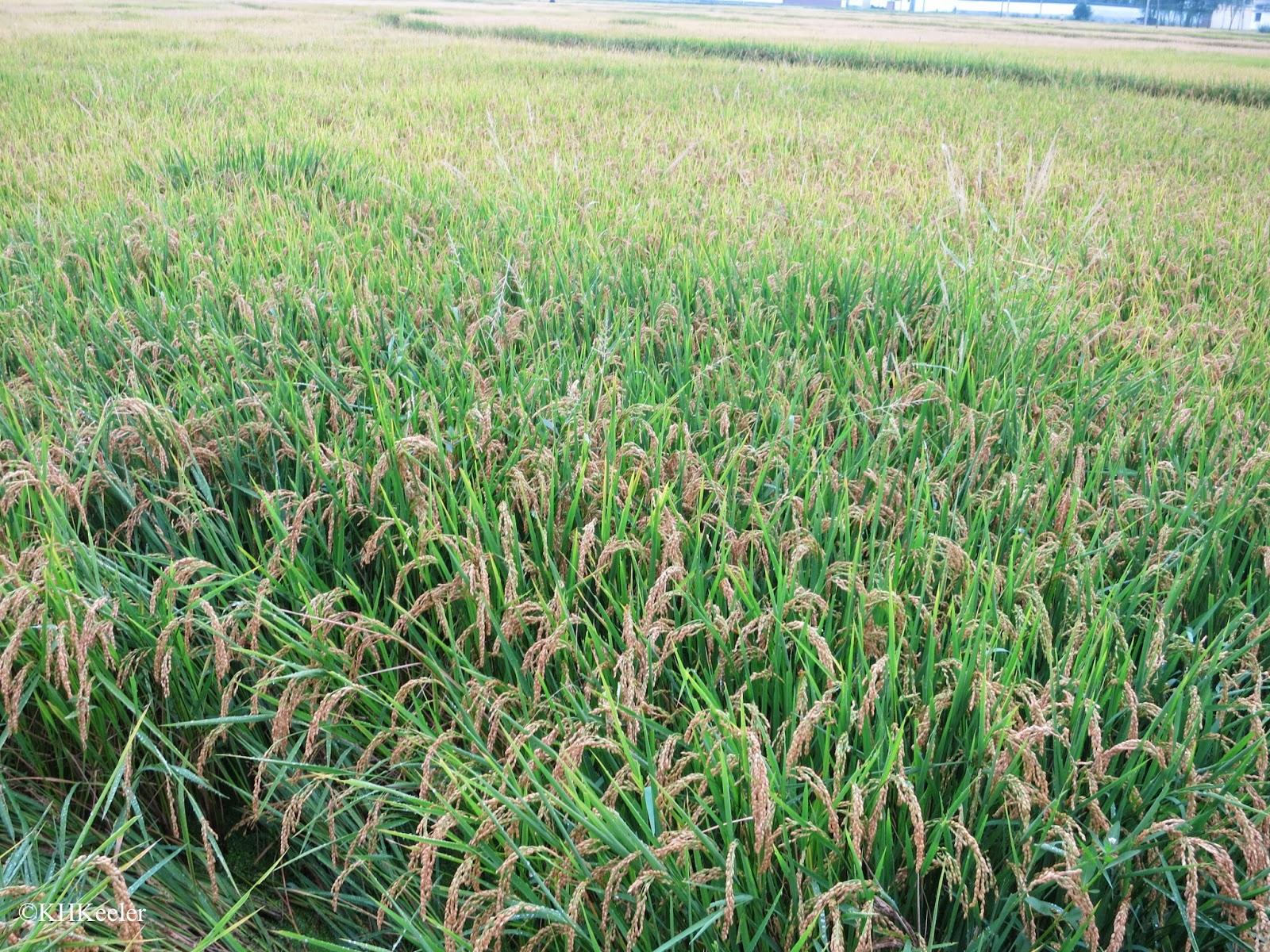 ripe rice, Dali, China
