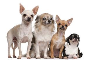 Giống chó Chihuahua.
