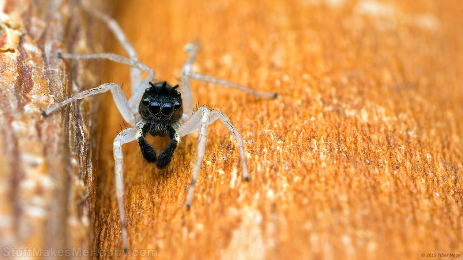 Maevia inclemens dimorphic jumping spider