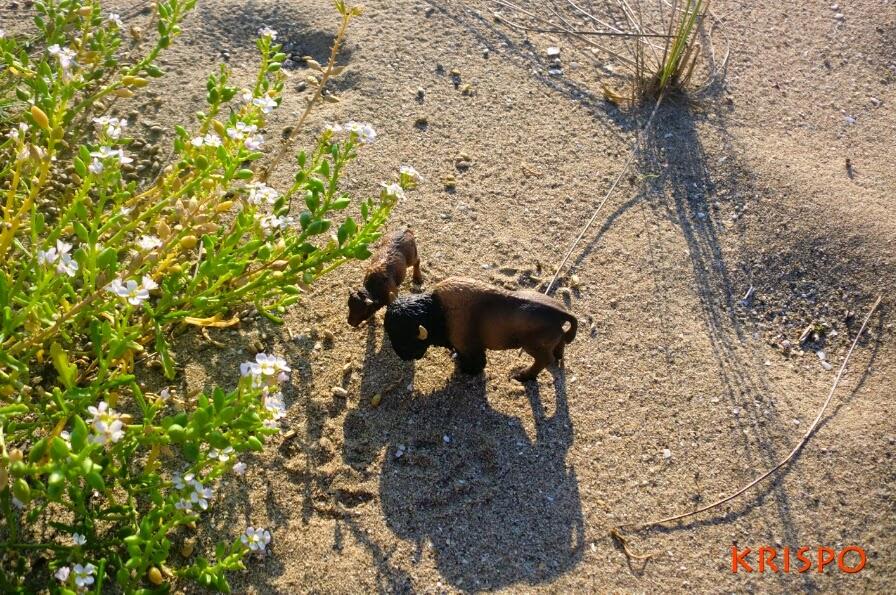 dos bufalos en miniatura