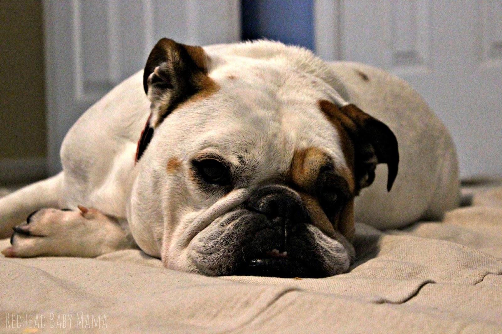 English Bulldog gets lazy on the job