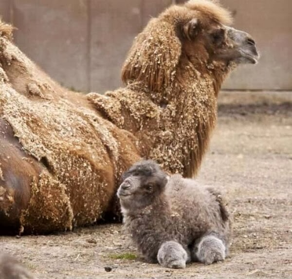 Funny animals of the week - 21 February 2014 (40 pics), baby llama and mommy
