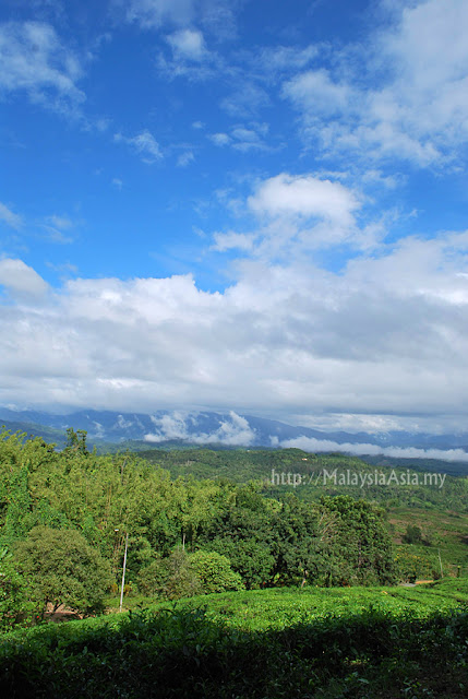 Picture of Sabah Tea Garden