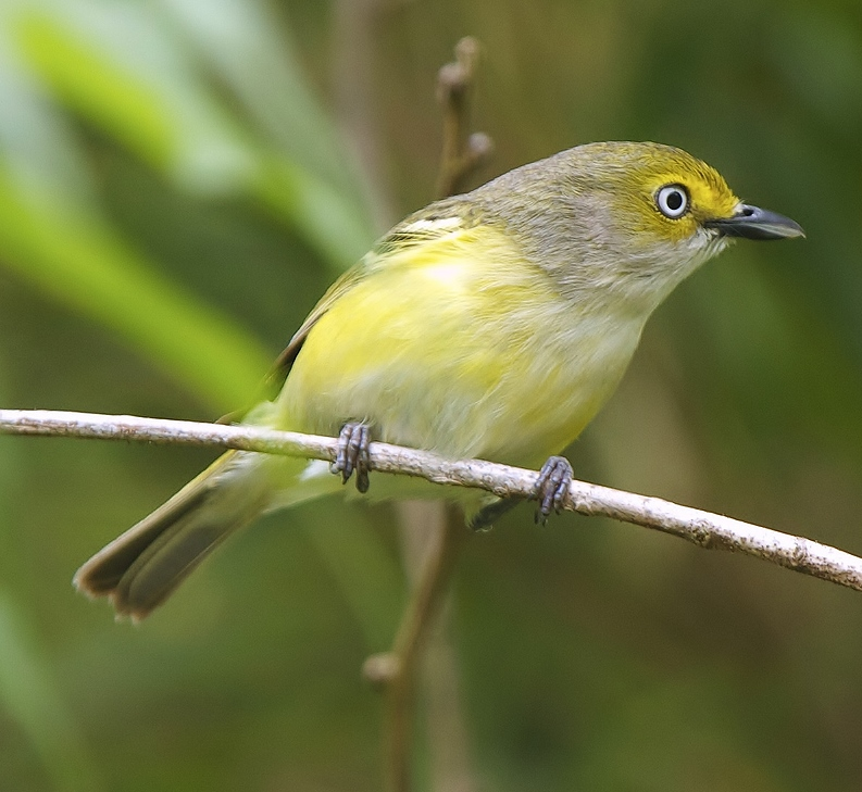 Vireo - photo#17