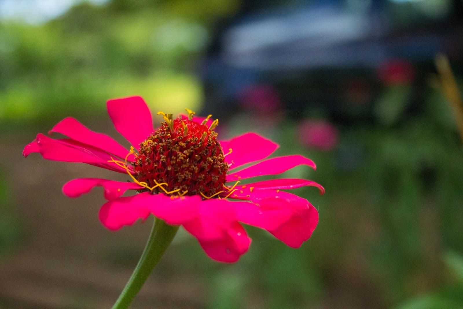 Uma linda flor que encontrei pelo caminho - Fotografia de Jéssica Guedes - Copyright © 2014 (C) – Todos os Direitos Reservados