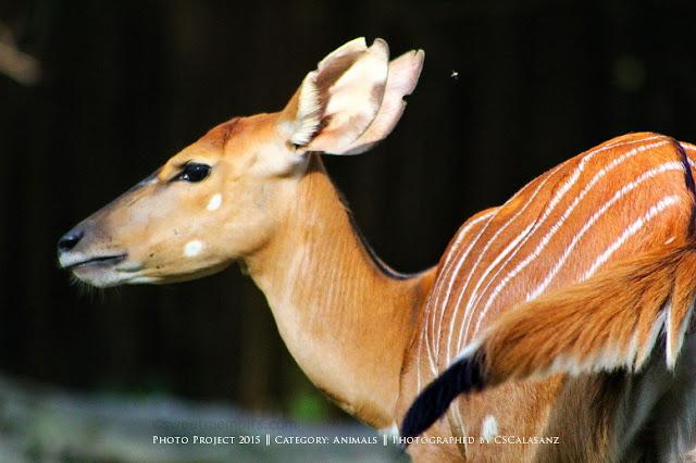 Nyala | Singapore Zoo