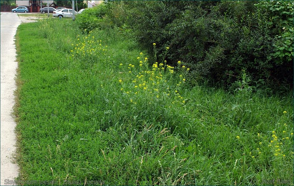Sisymbrium loeselii - Stulisz Loesela środowisko