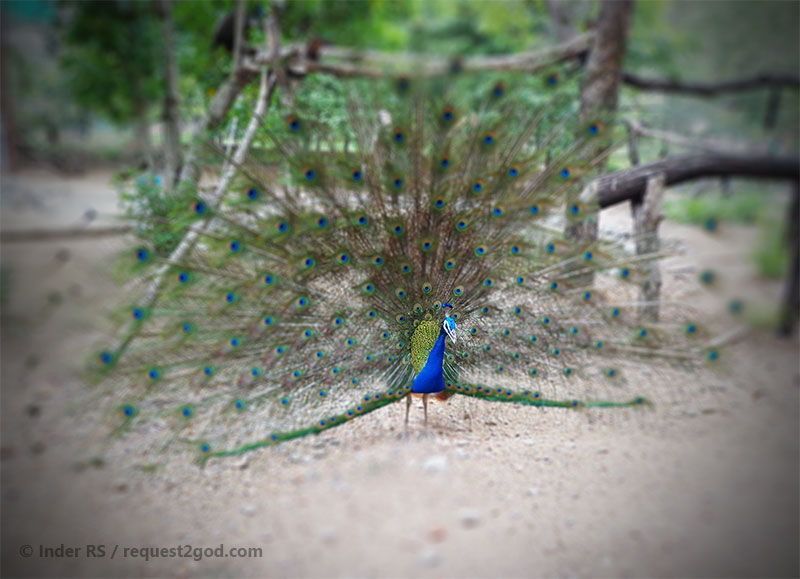 Indian Peacock with colorful tail feathers spread