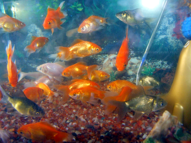 Types Of Goldfish Carassius Auratus Picture Aquarium Info